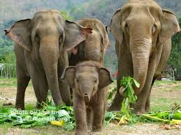 elephantsinwild